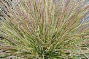 Щучка ( Deschamsia )